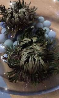 Resurrection Plant (Dessert Fern)