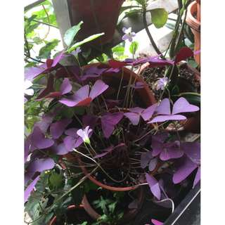 Love Plant / Purple Shamrock