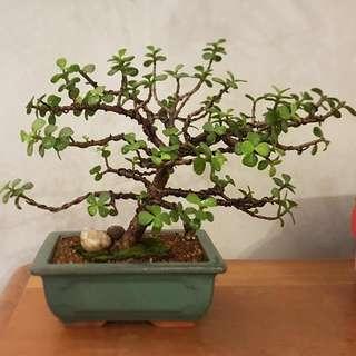 Jade Pre-bonsai Tree From Cutting