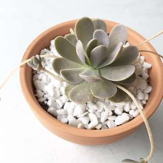 Succulent Orostachys Keiko Dunce's Cap In Stock Now