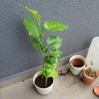 potted plant . mulberry