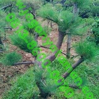 Jual bonsai cemara udang