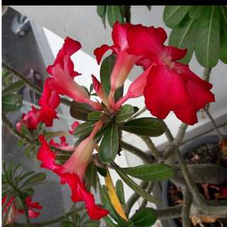 adenium/ desert rose (red)