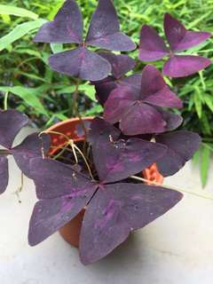 Purple shamrock / love plant
