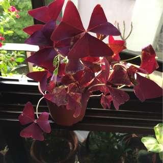 Purple Shamrock/ Love Plant