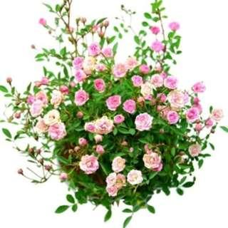 Tanaman Bunga Bungaan Yang Berbentuk Unik Dan Khas Pada Umumnya Digunakan Sebagai Informasi Seputar Tanaman Hias