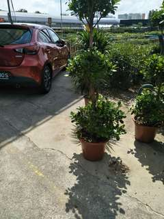 Ficus microcarpa 3 layer 1.8m H