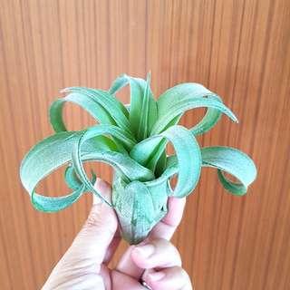 Streptophylla For Sale!