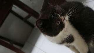 Kucing peaknose  usia 4, 5 bulan