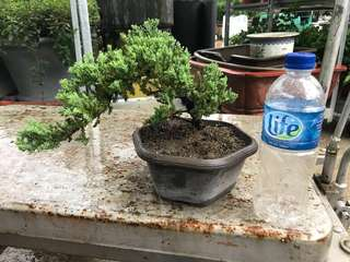 Bonsai pear Juniper !珍珠柏