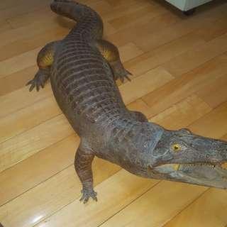 🚚 鱷魚標本