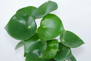 Coin Leaf Peperomia 豆瓣绿 (Peperomia polybotrya)