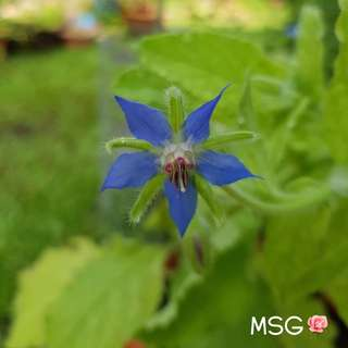 BORAGE / STARFLOWER SEEDS (Pack of 8 seeds)