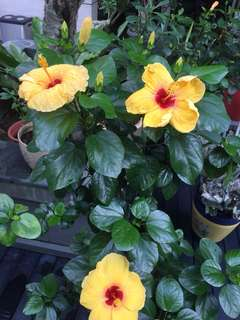 Hibiscus with buds (yellow as shown)