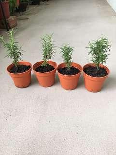 Rosemary Mini Pot Plant