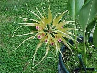 Bulbophyllum virescens (Bulbophyllum species)