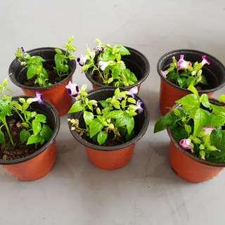 Plant 小丑花