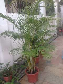Yellow palm 2 sizes