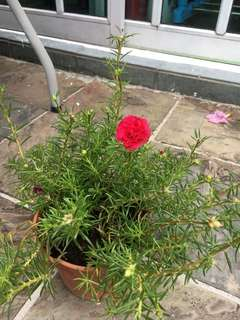 Small Japanese roses
