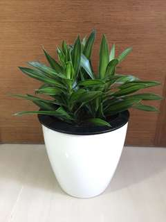 Dracaena Reflexa in Big self Watering Pot