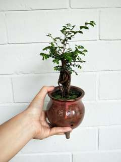 Mini Bonsai Ulmus pumila
