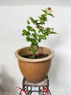 Jasmine Plant In Clay Flower Pot  Blk407 Hougang Ave10