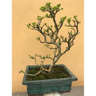 Small medium Bonsai tree