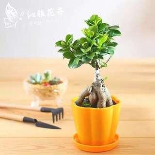 Mini Bonsai customize. Best gift and office use