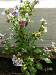 Veronica Plant / Speedwell Plant In Clay Flower Pot