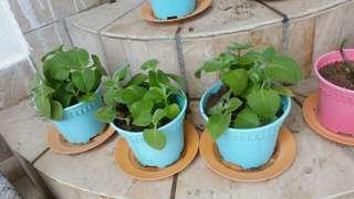 Borage Mint in pot x1