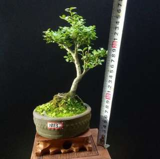 Mini bonsai.