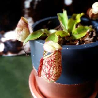 Instock Nepenthes Tropical Pitcher Potted Plant