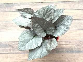 Begonia 'Silver Limbo'