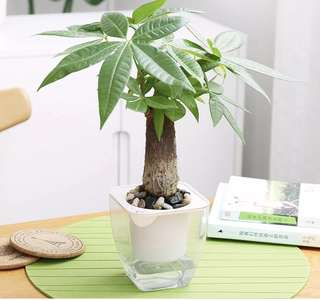 Mini Bonsai with self watering system.