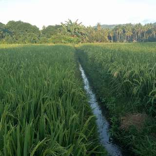 For sale farm rice field