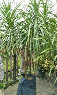 Draceana Draco plant