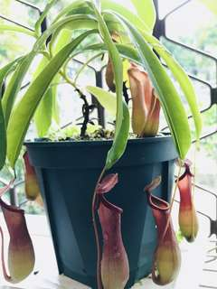 10 for $5 Nepenthes Ventrata Cuttings
