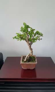Small Bonsai Plant