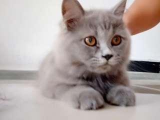 Kandang kucing sama kucingnya persia