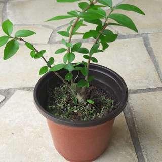 Starter bonsai shui mei