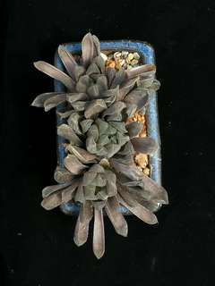 Haworthia cooperi in bonsai pot