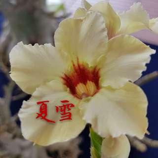 台湾富贵花