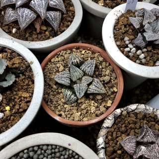 Haworthia Picta 'Dark Form'