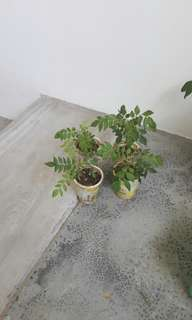 Curry Leaf Plant in pot (each $3 (