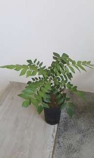 Curry Leaf Plant in pot (each $12)