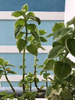 READY STOCK - Variegated Indian Borage Cuttings
