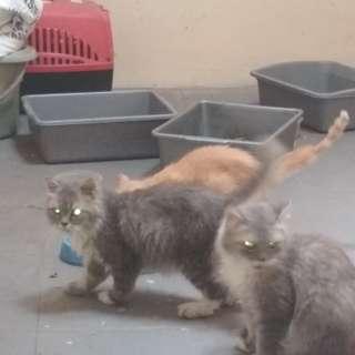 Kucing persia abu abu jantan dan betina