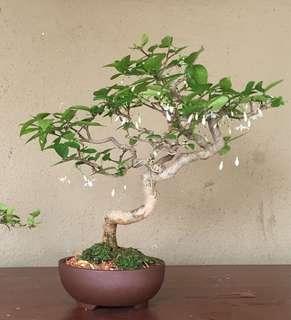 Bonsai - shui Mei
