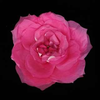 Small Pink Paper Flowers for SELL