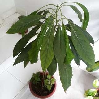 3-in-1 avocado plant